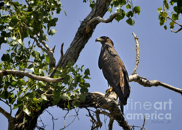 Young Bald Eagle Print by Nava  Thompson
