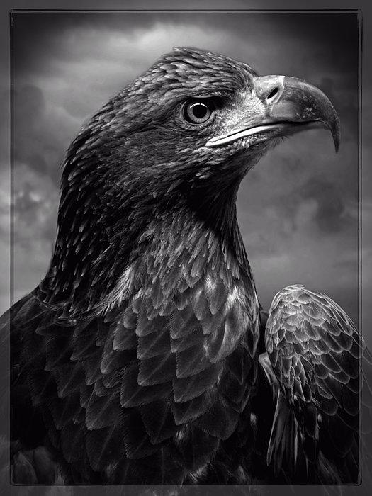 Young Bald Eagle V4 Print by F Leblanc