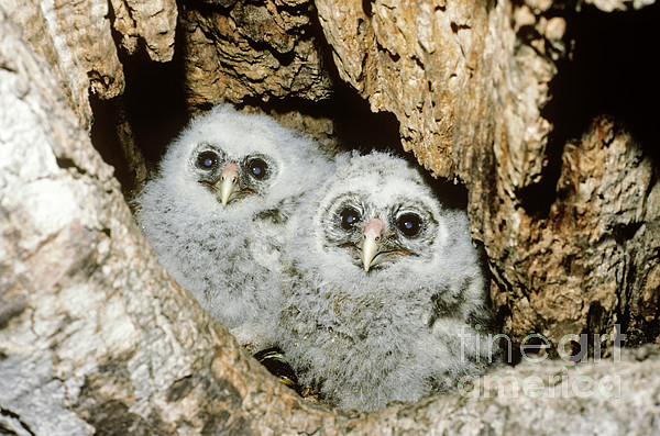 Young Barred Owls In Nest Snag Print by Jim Zipp