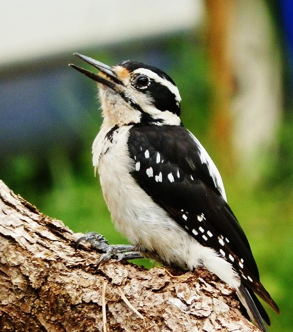Young Hairy Woodpecker Print by VLee Watson