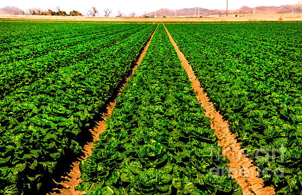 Young Lettuce Print by Robert Bales