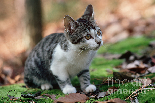 Young Manx Cat Print by James L. Amos