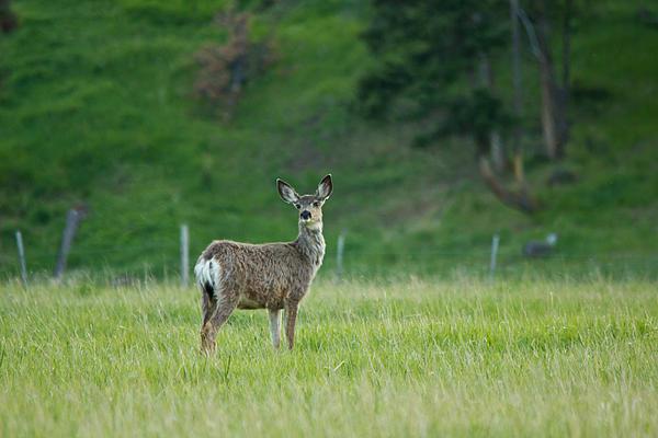 Young Mule Deer Print by Eti Reid