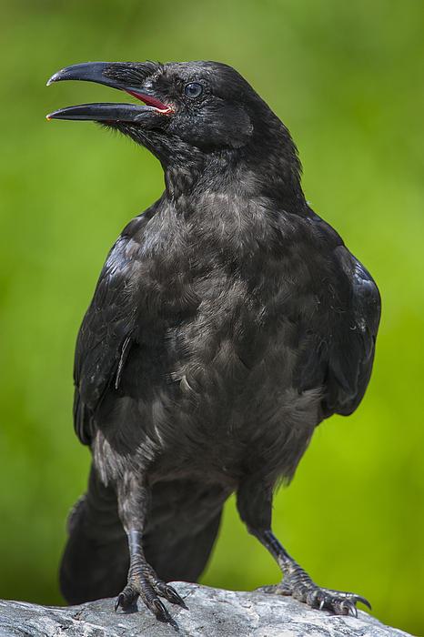 Young Raven Print by Tim Grams