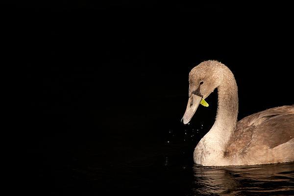 Karol  Livote - Young Swan