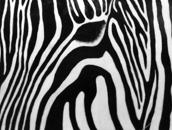 Zebra 13 Print by Jane Biven