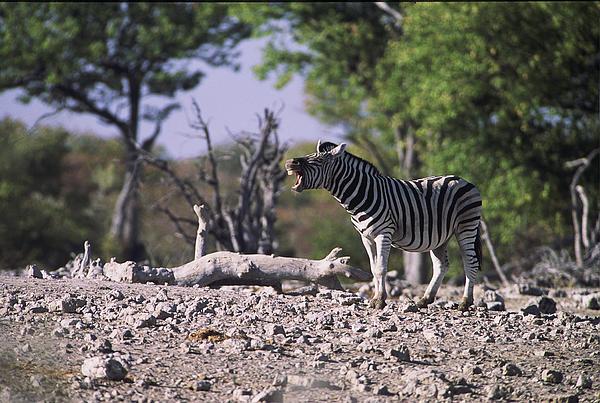 Zebra Braying Print by Stefan Carpenter