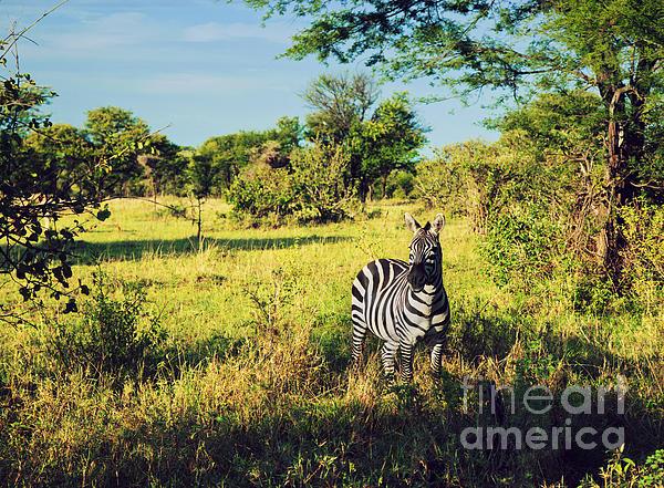 Zebra In Grass On African Savanna. Print by Michal Bednarek