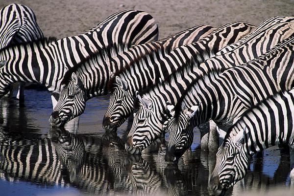 Zebra Line Print by Stefan Carpenter