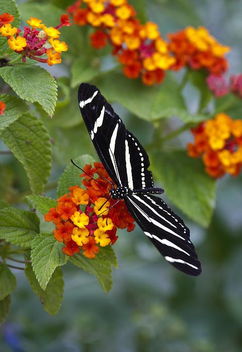 Zebra Longwing On Lantana Print by Saija  Lehtonen
