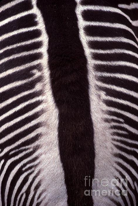 Zebra Stripes Closeup Print by Anna Lisa Yoder