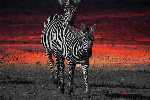 Zebra Train - Featured In Nature Photography - Wildlife And A Place For All Groups Print by EricaMaxine  Price