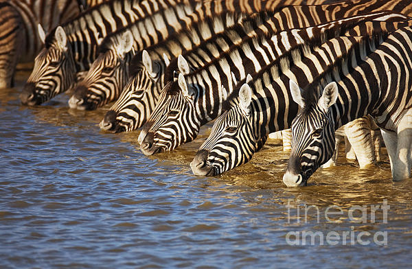 Zebras Drinking Print by Johan Swanepoel