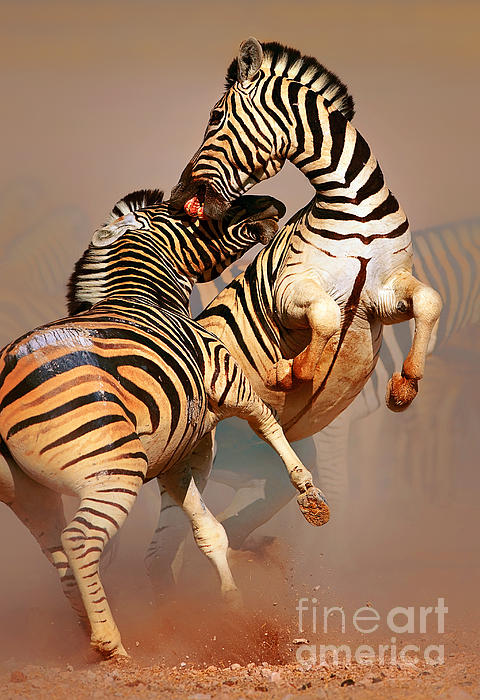 Zebras Fighting Print by Johan Swanepoel