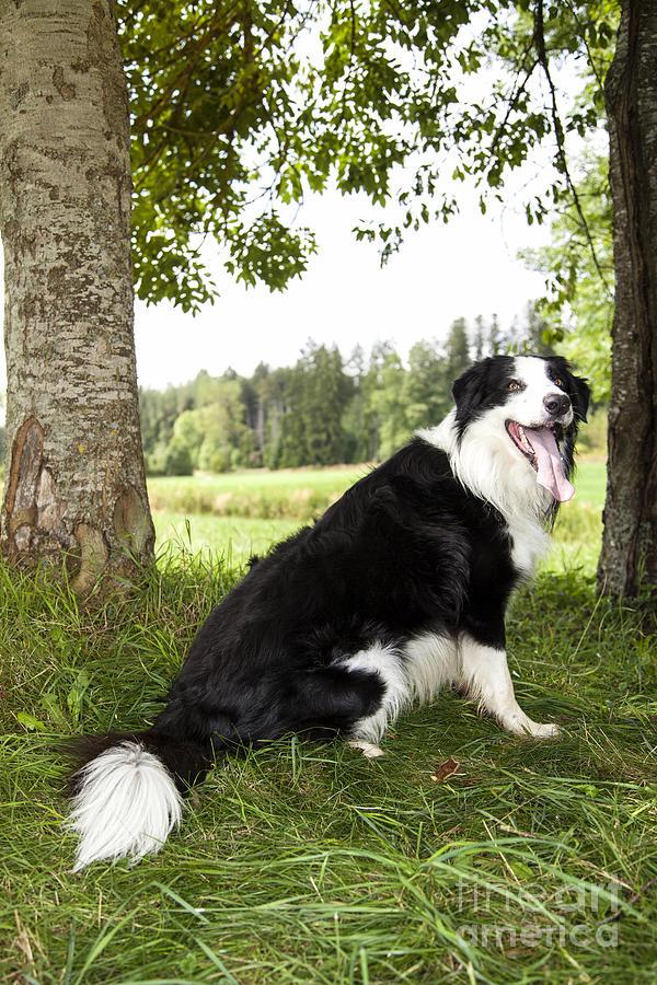Border Collie In The Nature Photograph  -  Border Collie In The Nature Fine Art Print