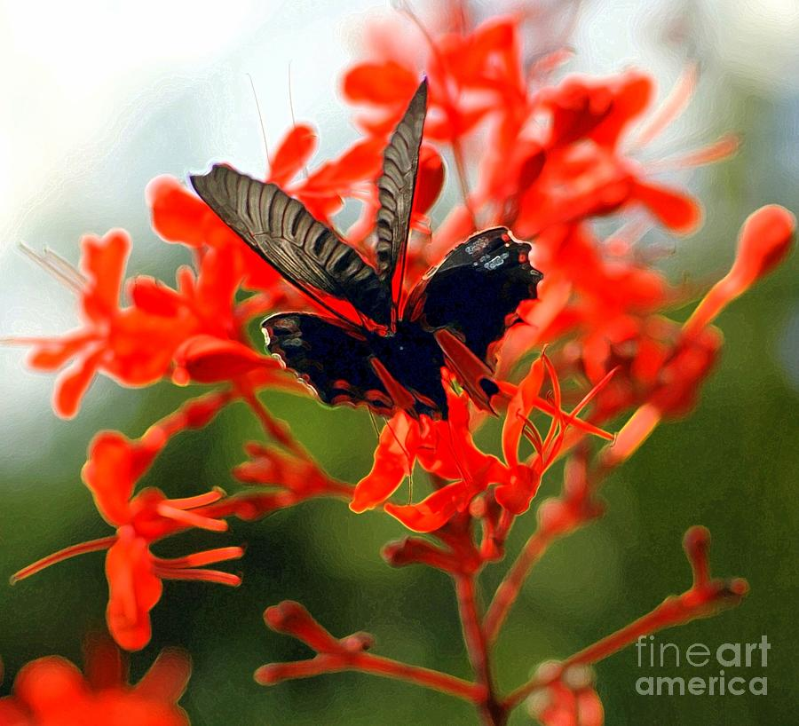 Butterfly Dance Photograph  -  Butterfly Dance Fine Art Print