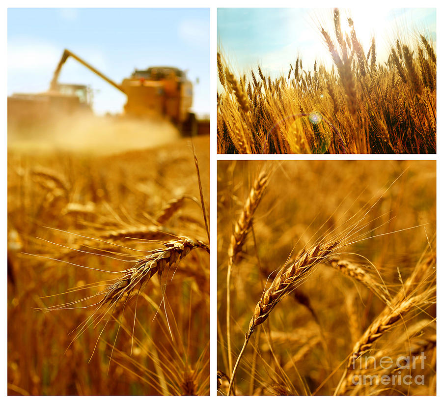 Collage Fields And Grain Photograph