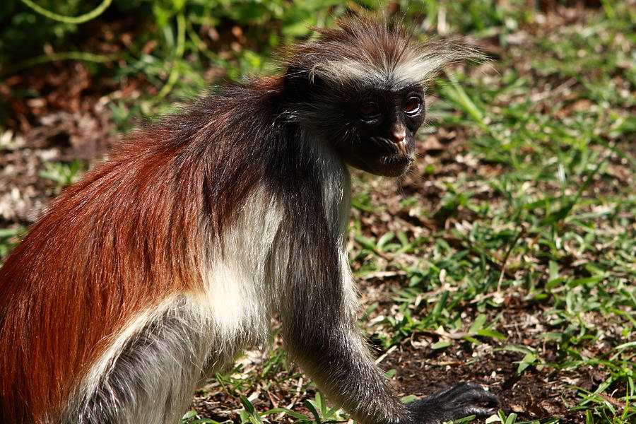 Red Colobus Monkey Photograph -  Colobus Monkey by Aidan Moran