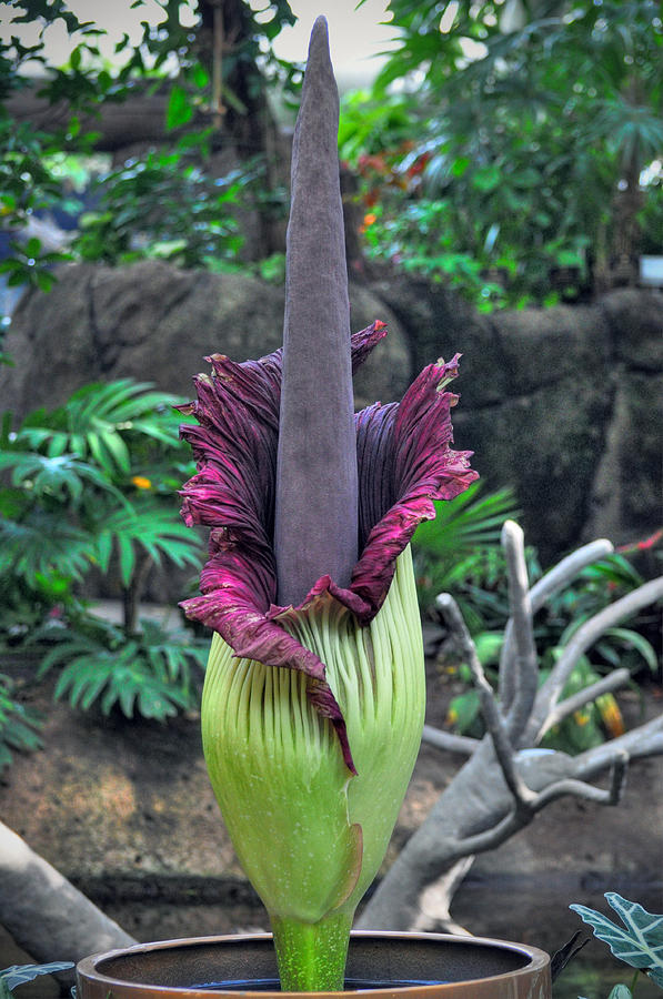 Corpse Flower Photograph  -  Corpse Flower Fine Art Print