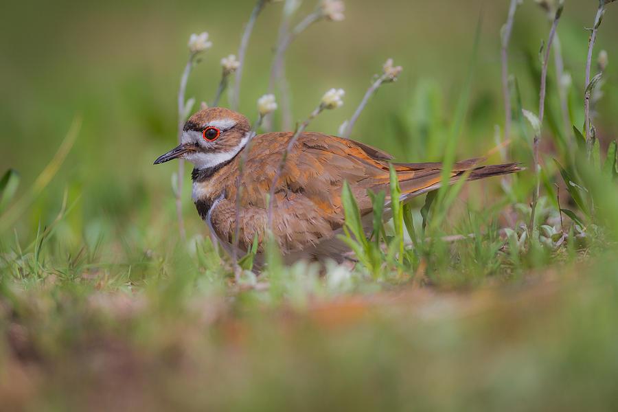 Bird Photograph -  Killdeer Closeup by Chris Hurst