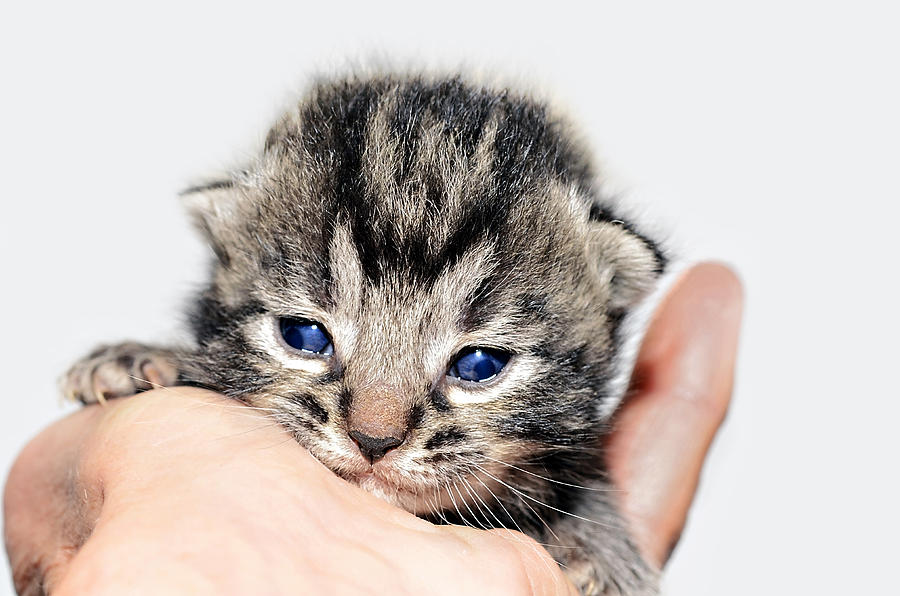 Kitten In A Hand Photograph