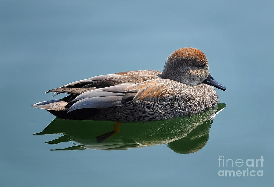 Duck Photograph - Male Gadwall Duck by Elaine Manley