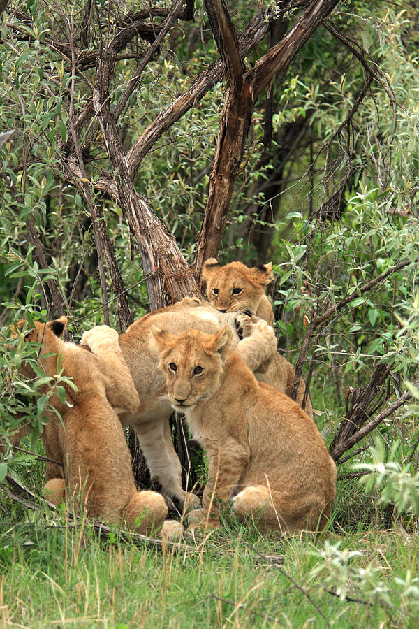 Masai Mara Lion Cubs Photograph