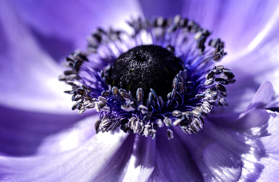 Mona Lisa Poppy Anemone Photograph