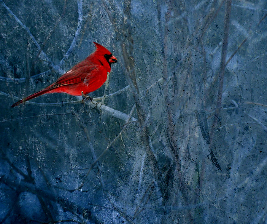 Northern Cardinal Photograph  -  Northern Cardinal Fine Art Print