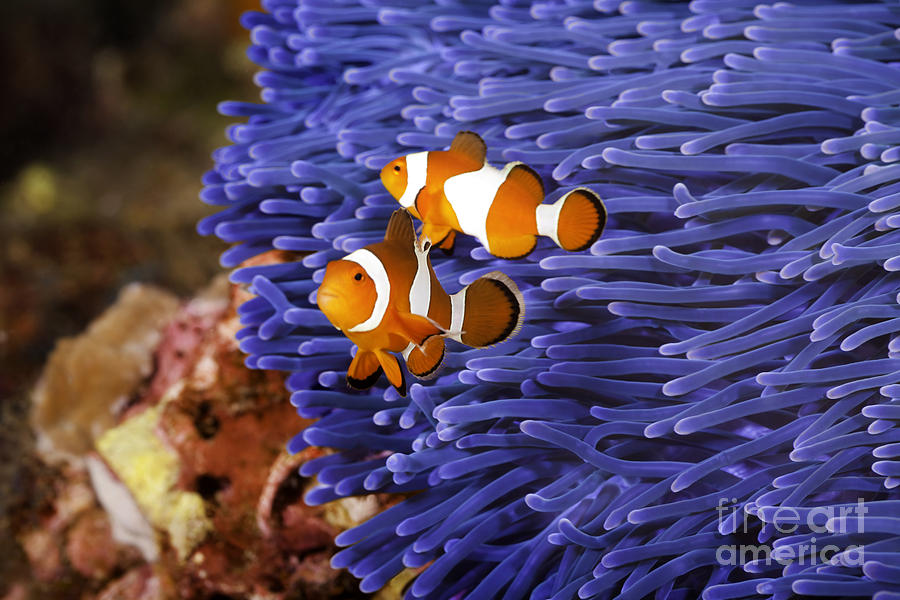 Ocellaris clownfish anemone - photo#25