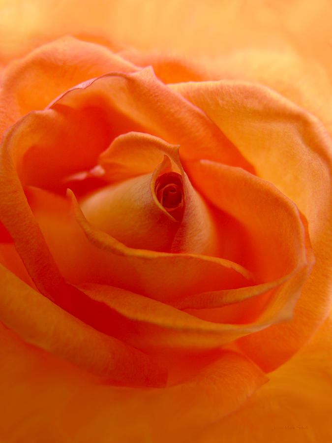 Orange Swirls Rose Flower Photograph