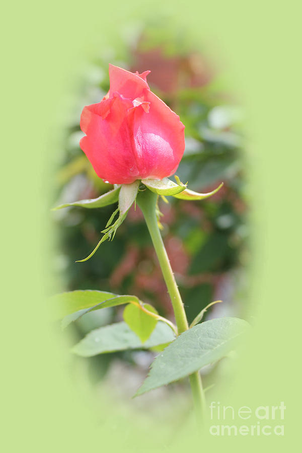 Rose Photograph -  The Heart Of The Rose by Judy Palkimas
