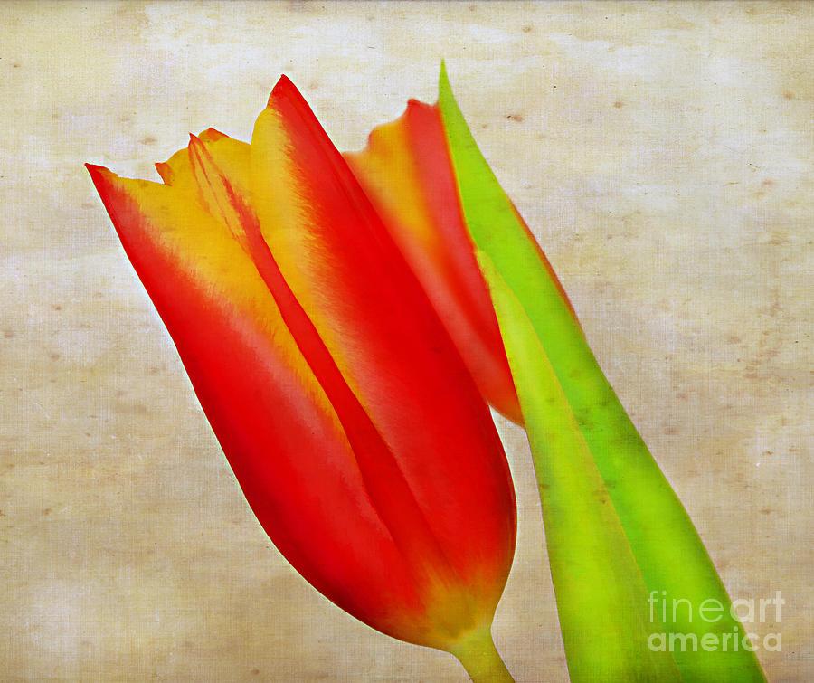 Tulip Art Photograph