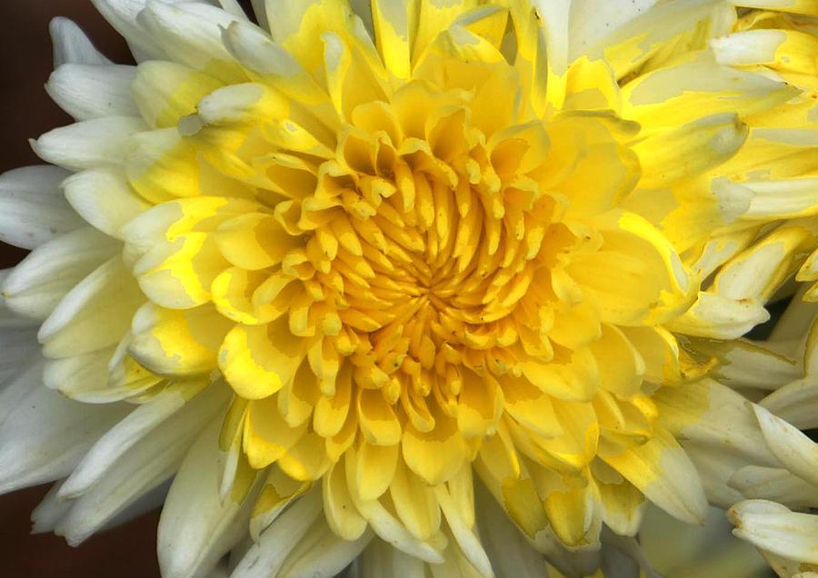 White Mum Flower Photograph
