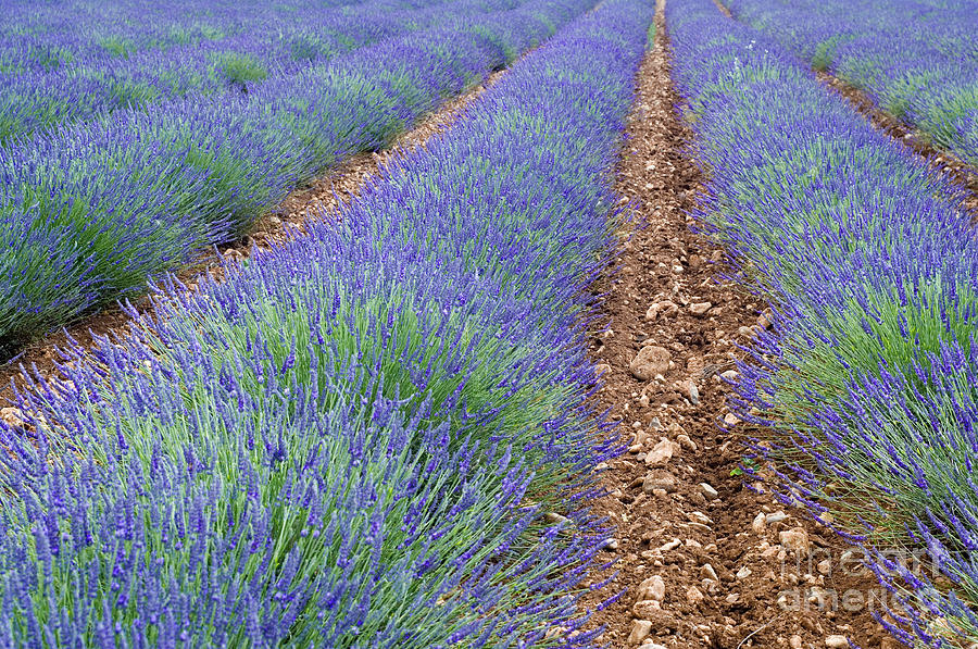 Lavender Photograph - 080720p071 by Arterra Picture Library