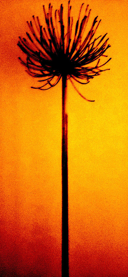 Agapanthus Burning Photograph