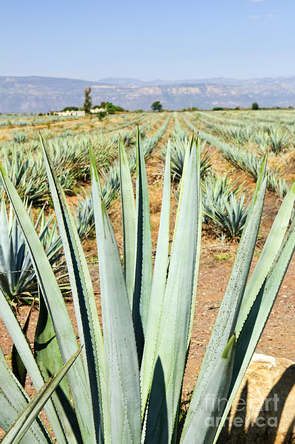 Agave Cactus Field In Mexico Photograph  - Agave Cactus Field In Mexico Fine Art Print