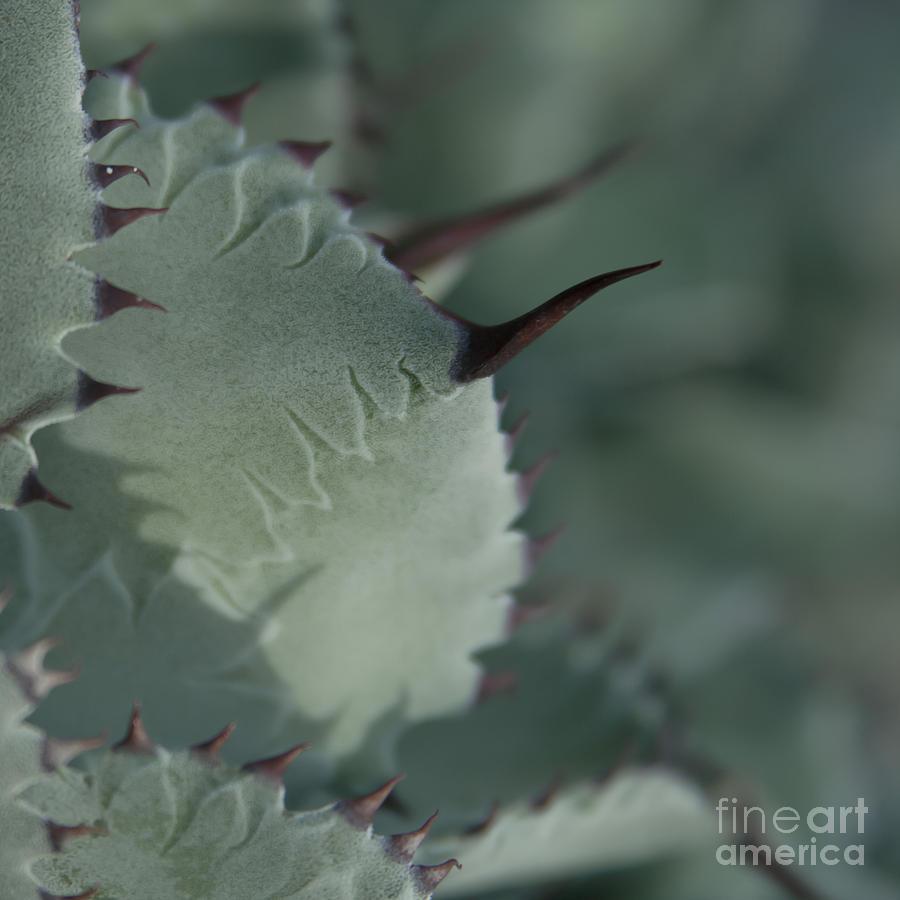 Agave Parryi Truncata - Artichoke Agave - Cactus And Succulents  Maui Hawaii Photograph