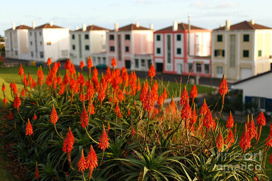 Aloe Flowers Photograph