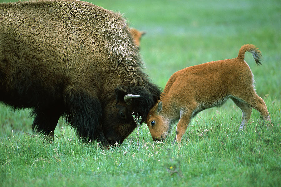American Bison Cow And Calf Photograph