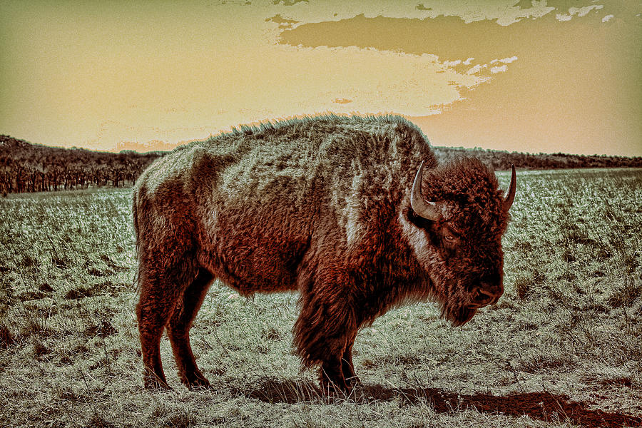 American Buffalo  Photograph  - American Buffalo  Fine Art Print