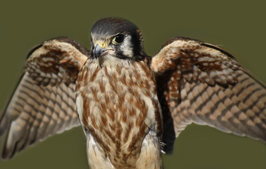 American Kestrel Photograph