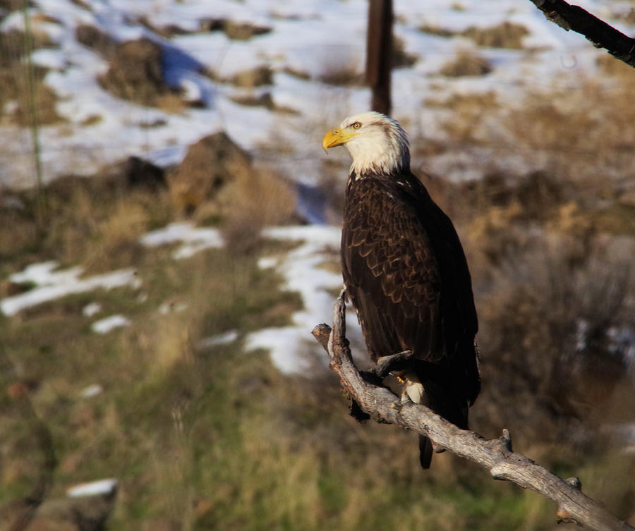 An Eagle Perched   Photograph