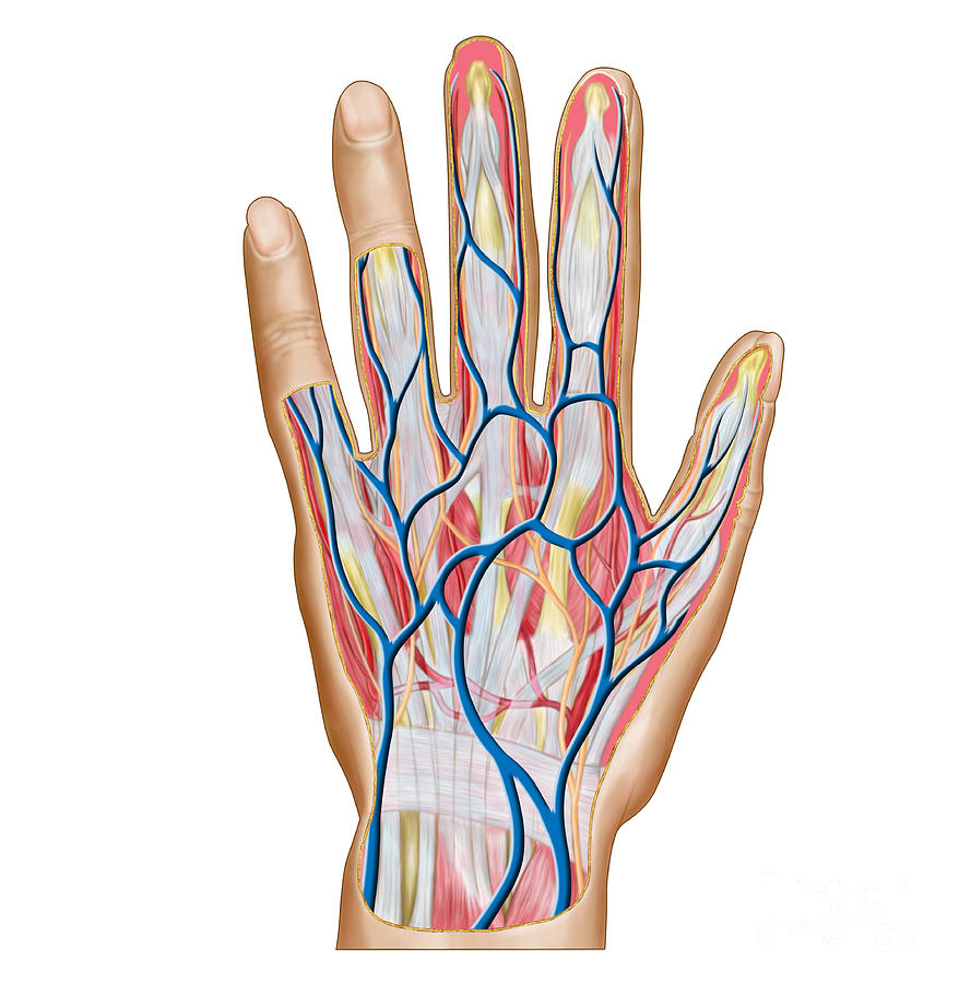Anatomy Of Back Of Human Hand Digital Art