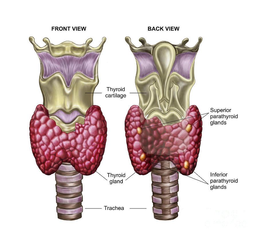 Anatomy Of Thyroid Gland With Larynx & Digital Art