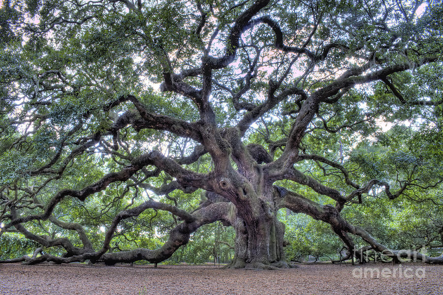 Angel Oak Photograph  - Angel Oak Fine Art Print