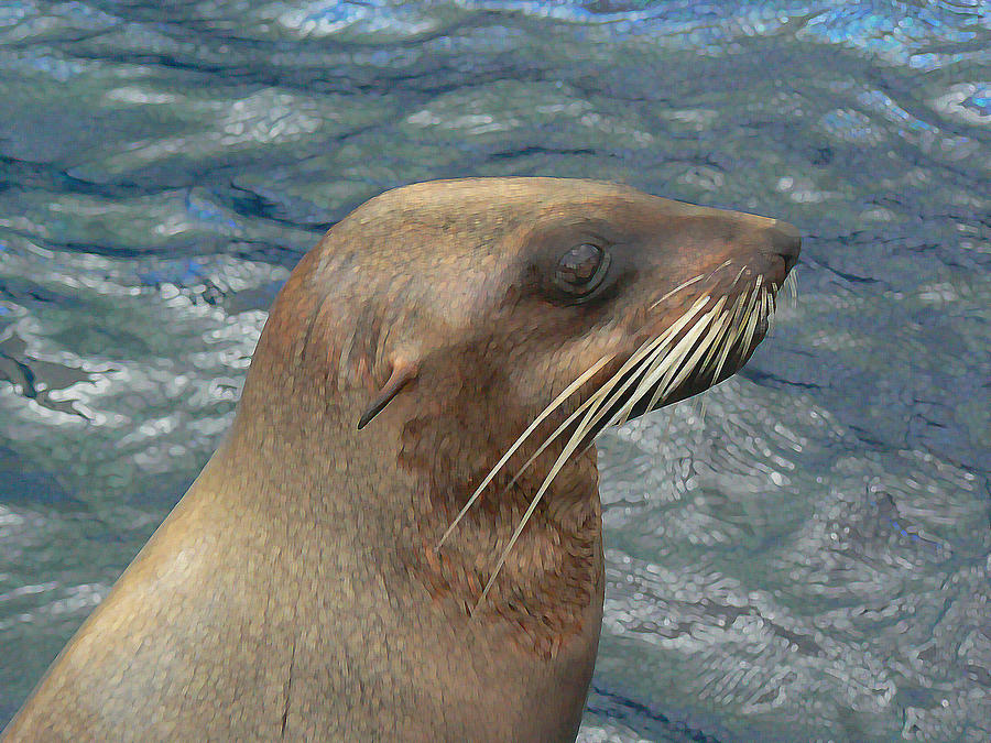 Australian Fur Seal Photograph