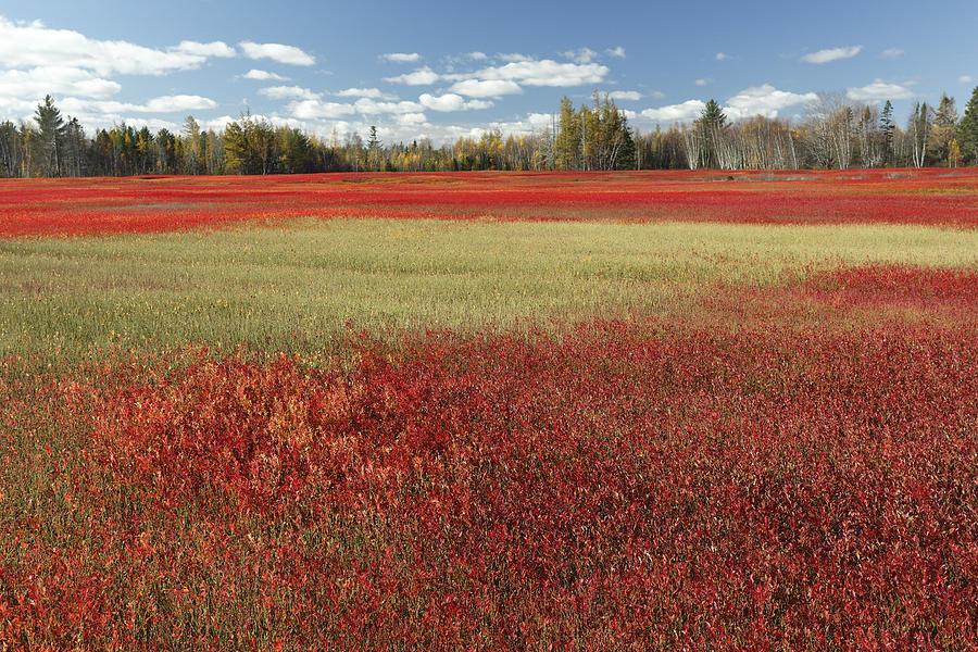 Feb0514 Photograph - Autumn Blueberry Field Maine by Scott Leslie