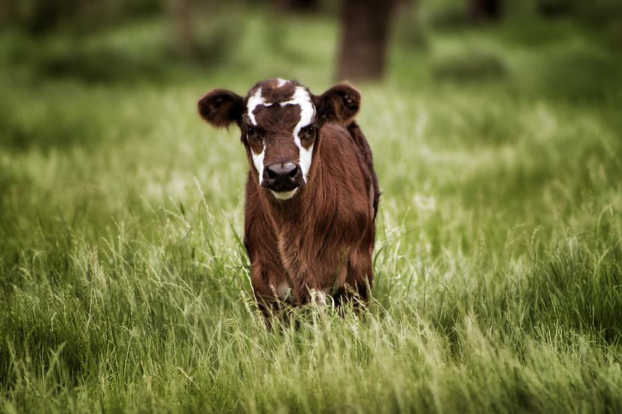 Texas Cattle Photograph - Baby by Kimberly Danner