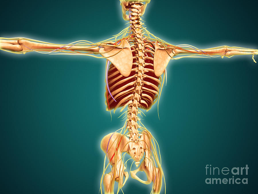 Back View Of Human Skeleton Digital Art  - Back View Of Human Skeleton Fine Art Print